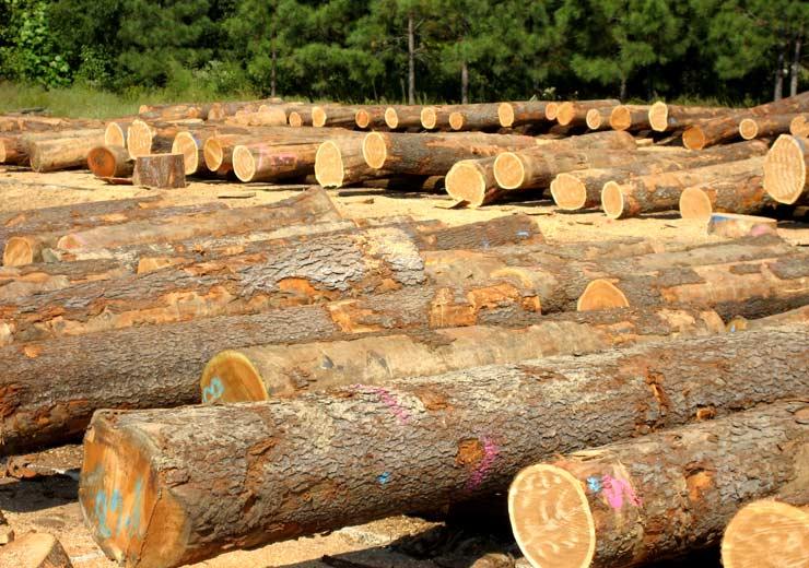 Carusowood > Products > Veneer Logs > Black Cherry